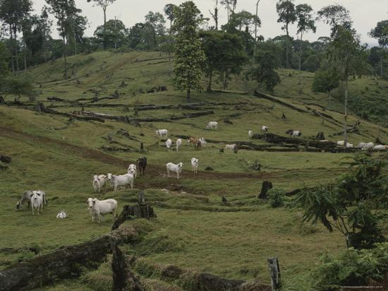 brahman-cattle-on-pasture-cleared-from-rain-forest