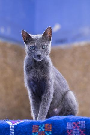 brenda-tharp-morocco-chefchaouen-a-female-cat-looks-on-in-curiosity