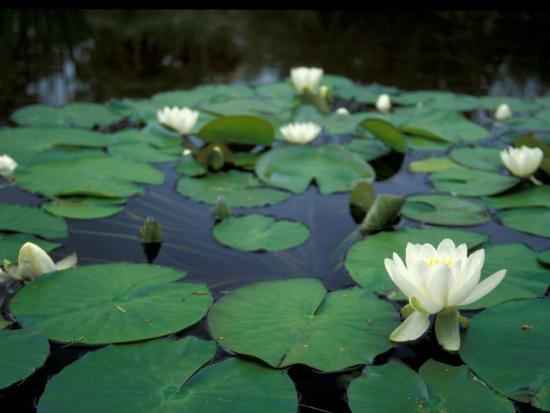 brent-bergherm-white-water-lily-in-bloom-comox-valley-british-columbia