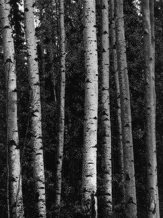 brett-weston-birch-trees