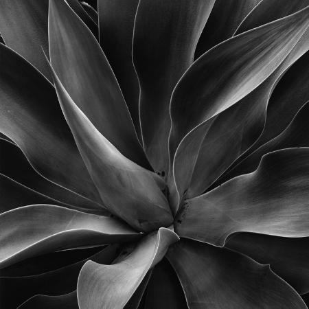 brett-weston-century-plant