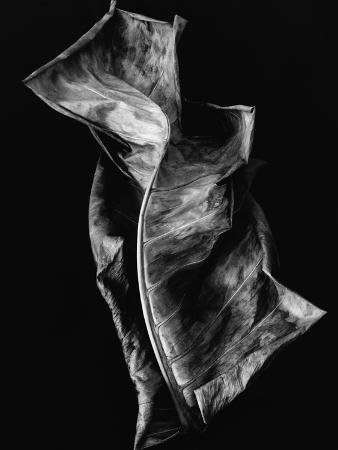 brett-weston-dead-leaf