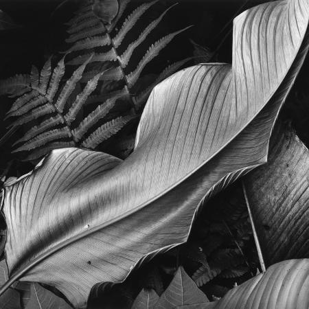 brett-weston-leaf-1979