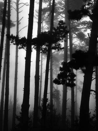 brett-weston-pines-in-fog-1962