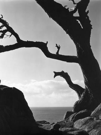 brett-weston-point-lobos-cypress