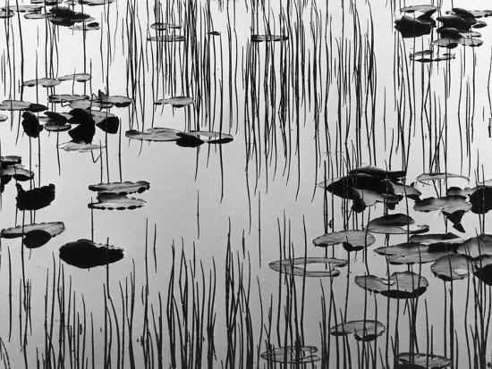 brett-weston-reeds-and-lily-pads
