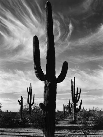 brett-weston-saguaros-arizona