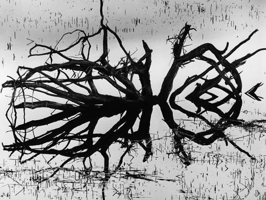 brett-weston-stump-alaska-1973