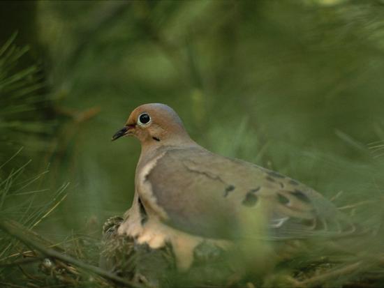 brian-gordon-green-mourning-dove-zenaida-macroura-nesting-in-a-pine-tree