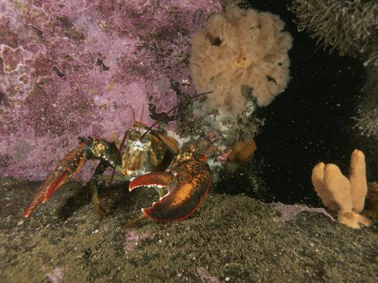 brian-j-skerry-an-american-or-northern-lobster-near-sponges-and-anemones