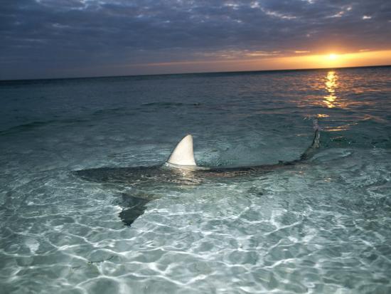 brian-j-skerry-blacktip-shark-fins-carcharhinus-limbatus-slice-the-waters-surface