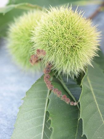 brigitte-sporrer-sweet-chestnuts-with-leaves