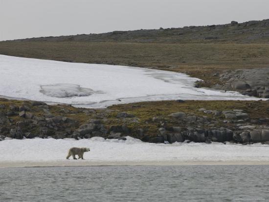 brimberg-coulson-polar-bear-walking-on-snow-covered-beach-svalbard-islands-norway