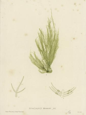 british-sea-weed