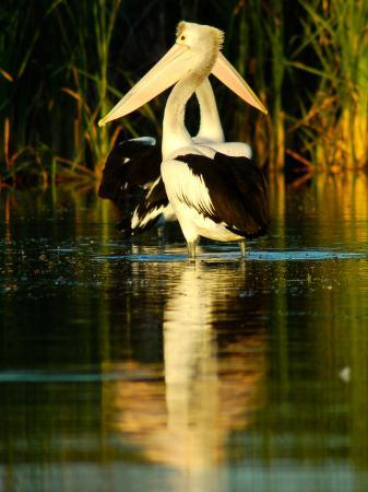 brooke-whatnall-two-pelicans-standing-in-morning-light-as-a-pair-with-reflection