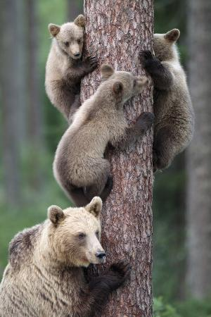 brown-bear-young-bears-clinging-on-to-tree