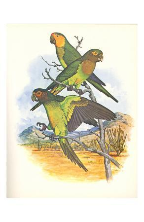 brown-throated-conure-no-401