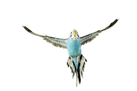 budgerigar-in-flight