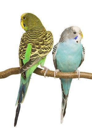 budgerigars-two-on-perch