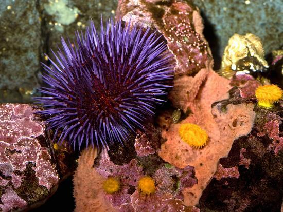 buff-gerald-corsi-purple-sea-urchin-strongylocentrotus-purpuratus-seattle-aquarium-washington