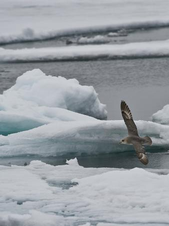 buff-gerald-corsi-the-northern-fulmar-fulmarus-glacialis-spitsbergen-island-svalbard-norway