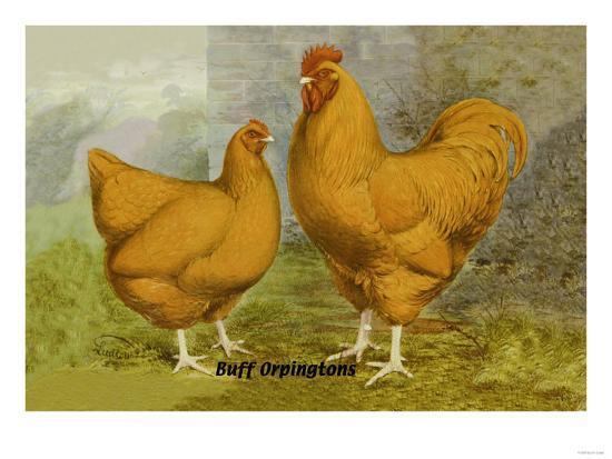 buff-orpingtons
