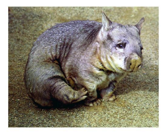 buffaloworks-wombat-witn-an-itch