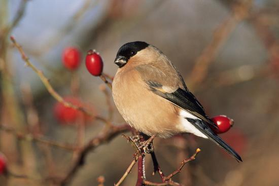 bullfinch-female