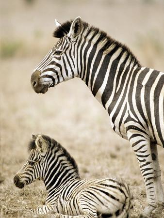 burchell-s-zebra