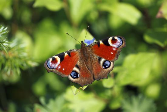 butterfly-peacock-resting-on-flower-in-garden