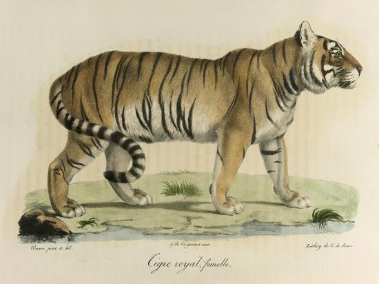 c-de-last-a-female-royal-tiger