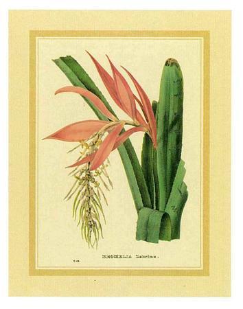 c-van-geel-bromelia-zebrina