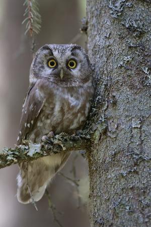 cairns-tengmalms-owl-aegolius-funereus-perched-in-tree-bergslagen-sweden-june-2009