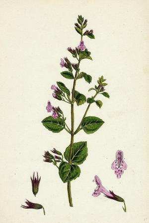 calamintha-menthifolia-var-briggsii-common-calamint-var-b