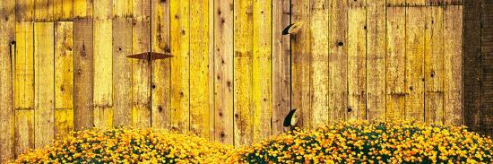 california-golden-poppies-eschscholzia-californica-in-front-of-weathered-wooden-barn