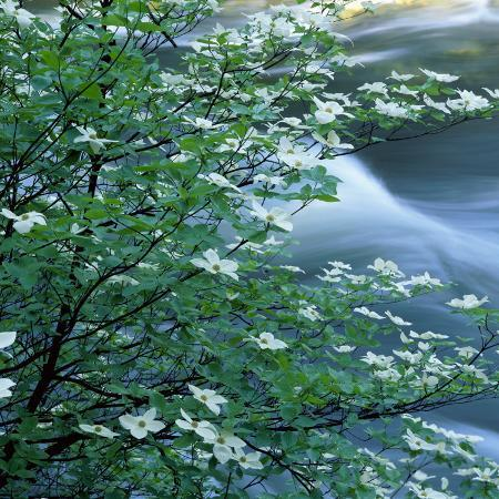 california-pacific-dogwood-flowers-blooming-on-a-tree