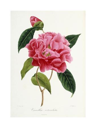 camellia-reticulata-1839-1943