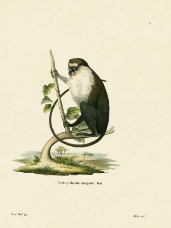 campbell-s-mona-monkey
