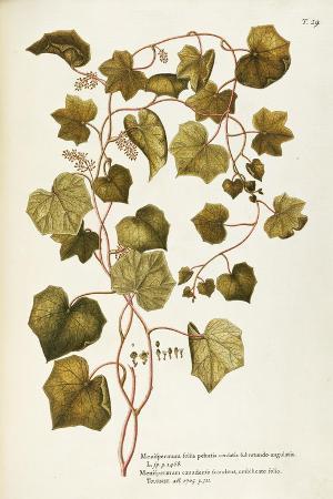 canada-moonseed-or-common-moonseed-menispermum-canadense