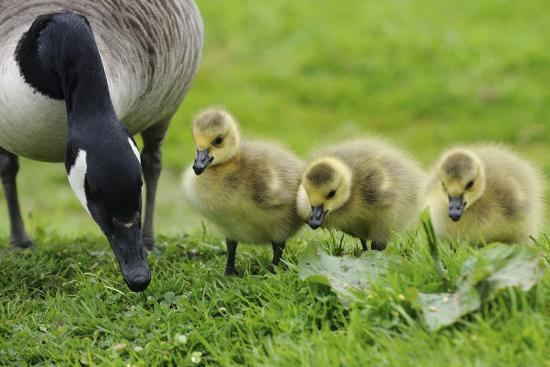 canadian-goose-with-goslings