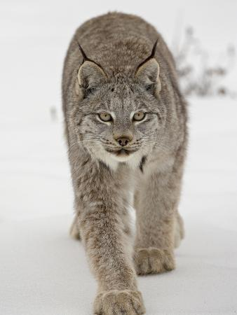 canadian-lynx-lynx-canadensis-in-snow-in-captivity-near-bozeman-montana
