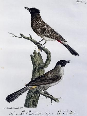 cape-bulbul-pycnonotus-capensis-and