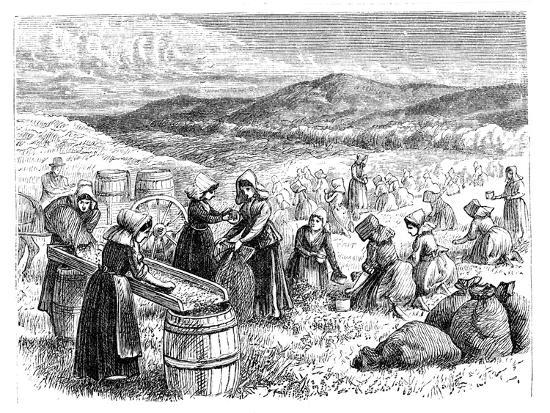cape-cod-women-picking-and-sorting-cranberries-1875