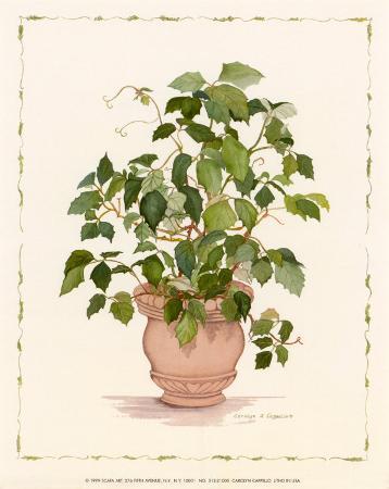 cappello-ivy-in-a-clay-pot