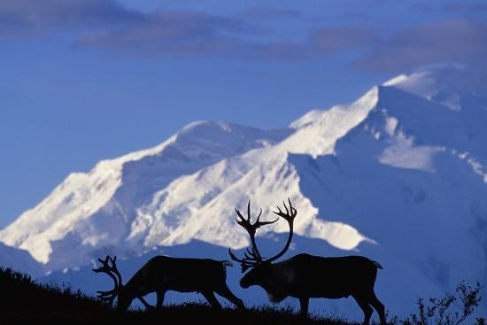 caribou-grazing-near-wonder-lake-below-mt-mckinley