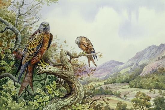 carl-donner-pair-of-red-kites-in-an-oak-tree