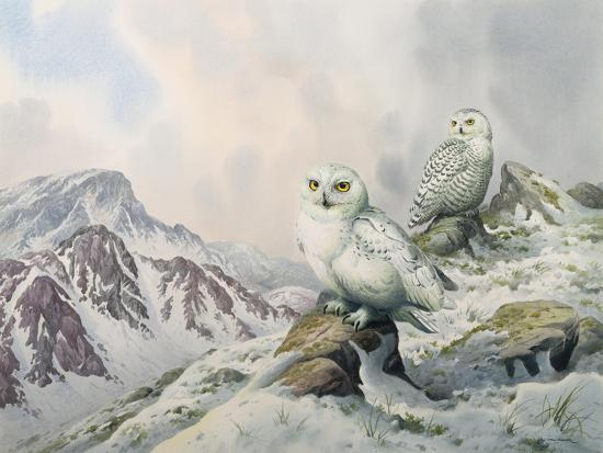 carl-donner-pair-of-snowy-owls-in-the-snowy-mountains-australia