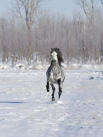carol-walker-grey-andalusian-stallion-cantering-in-snow-longmont-colorado-usa