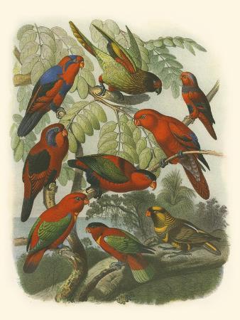 cassell-red-cassel-birds-ii
