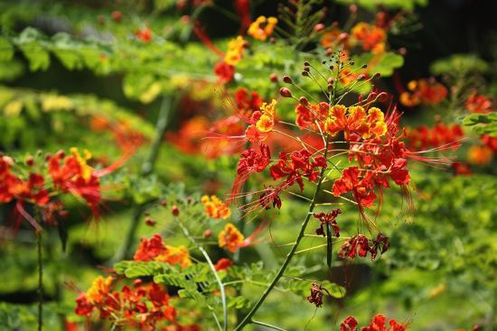 catharina-lux-the-seychelles-la-digue-plant-peacock-flower-or-red-bird-of-paradise-caesalpinia-pulcherrima